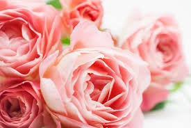 rose_temp1