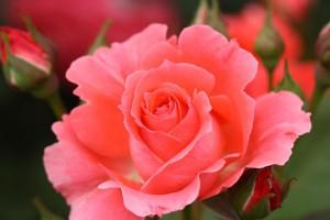 rose_temp2